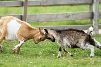 bigstock-Goats-Fighting-With-Their-Head-50430281.jpg