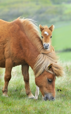 bigstock-Wild-Dartmoor-Mother-And-Foal-7147034.jpg